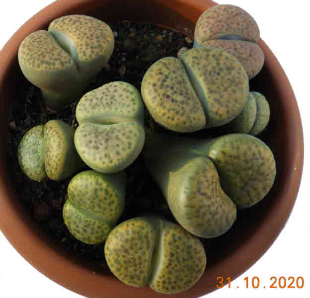 Lithops Fulviceps 1-1